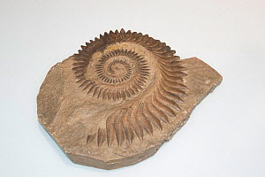 Whorl tooth shark (Helicoprion bessonovi) fossil mould of the spiral lower jaw tooth whorl, 245-290 million years, on display at Oceanographic Museum of Monaco, Principality of Monaco (digitally modif... - Doug Perrine
