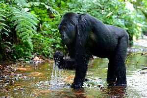 Mountain gorilla (Gorilla beringei beringei) drinking in a mountain stream. Bwindi Impenetrable Forest National Park, Uganda, Africa  -  Eric Baccega