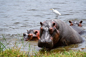 Hippopotamus (Hippopotamus amphibius) resting with cattle egret (Bubulcus ibis) on its back. Akagera National Park, Rwanda, Africa - Eric Baccega