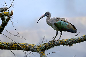 Hadada ibis (Bostrychia hagedash) perched on branch, captive in Zoo Parc de Beauval, France. Occurs in sub-Saharan Africa. - Eric Baccega