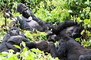 Eastern lowland gorilla (Gorilla beringei graueri) family group resting in equatorial forest of Kahuzi Biega National Park. South Kivu, Democratic Republic of Congo, Africa  -  Eric Baccega