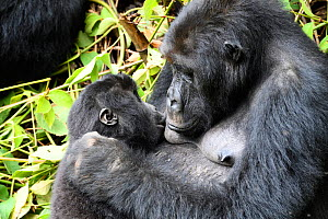 Female Eastern lowland gorilla (Gorilla beringei graueri) nursing in equatorial forest of Kahuzi Biega National Park. South Kivu, Democratic Republic of Congo, Africa  -  Eric Baccega