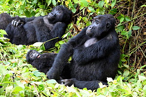 Female Eastern lowland gorilla (Gorilla beringei graueri) resting with baby in equatorial forest of Kahuzi Biega National Park. South Kivu, Democratic Republic of Congo, Africa  -  Eric Baccega
