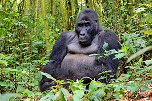 Eastern lowland gorilla (Gorilla beringei graueri) silverback sitting in equatorial forest of Kahuzi Biega National Park. South Kivu, Democratic Republic of Congo, Africa  -  Eric Baccega