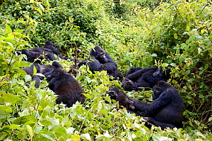 Eastern lowland gorilla family group (Gorilla beringei graueri) resting and grooming in equatorial forest of Kahuzi Biega National Park. South Kivu, Democratic Republic of Congo. Africa  -  Eric Baccega