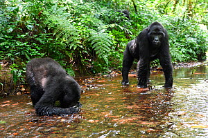 Mountain gorilla (Gorilla beringei beringei) drinking from a mountain stream. Bwindi Impenetrable Forest National Park, Uganda, Africa  -  Eric Baccega