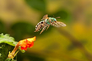 Metallic green bee (Agapostemon sp.) female in flight Travis County, Texas, USA. Controlled conditions. March  -  John Abbott