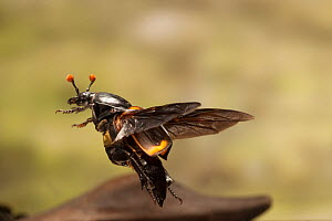 Sexton beetle (Nicrophorus carolinus) in flight, Lamar County, Texas, USA Controlled conditions. July  -  John Abbott