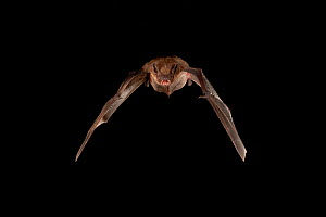Evening bat (Nycticeius humeralis) flying; shots taken with high speed flash San Saba County, Texas, USA. Controlled conditions. July  -  John Abbott