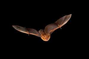 Eastern pipistrelle bat (Perimyotis subflavus) flying, San Saba County, Texas, USA. Controlled conditions. July  -  John Abbott