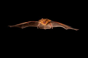 Eastern pipistrelle (Perimyotis subflavus) flying, San Saba County, Texas, USA. Controlled conditions. July  -  John Abbott