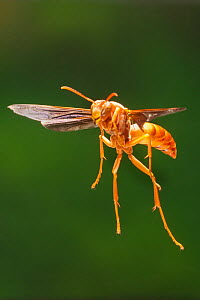 Red wasp (Polistes carolina) in flight Lamar County, Texas, USA Controlled conditions. August  -  John Abbott
