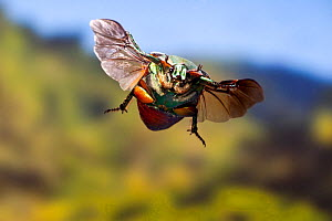 Green june beetle (Cotinis nitida) in flight Williamson County, Texas, USA Controlled conditions. October  -  John Abbott