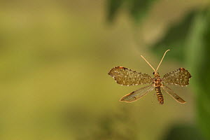 Beaded lacewing (Lomamyia sp.) flying Jasper Count, Texas, USA Controlled conditions. May  -  John Abbott