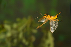 Stonefly (Perlesta sp.) flying with eggs, Tuscaloosa County, Alabama, USA Controlled conditions. May  -  John Abbott