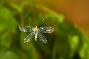 Green lacewing (Abachrysa eureka) flying, Tuscaloosa County, Alabama, USA Controlled conditions. May  -  John Abbott