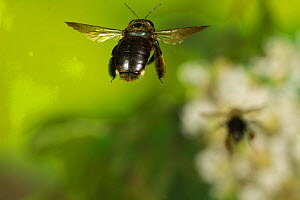 Southern carpenter bee (Xylocopa micans) female flying, Tuscaloosa County, Alabama, USA Controlled conditions. July - John Abbott