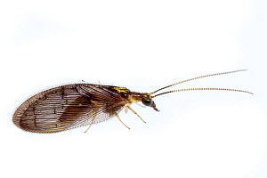 Brown lacewing (Sympherobius occidentalis) on white background, Tuscaloosa County, Alabama, USA October  -  John Abbott