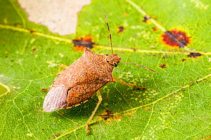Spined soldier bug (Podisus maculiventris), Tuscaloosa County, Alabama, USA October  -  John Abbott