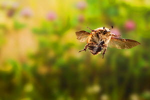 Bumble flower beetle (Euphoria inda) in flight, Texas, USA, Controlled conditions. March  -  John Abbott