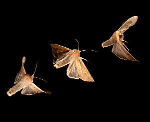 Armyworm moth (Mythimna unipuncta) composite image Bastrop County, Texas, USA. Controlled conditions. March  -  John Abbott