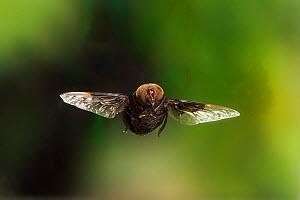 Mexican Cactus Fly (Copestylum mexicanum) in flight, Travis County, Texas, USA. Controlled conditions. March  -  John Abbott