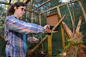 Josie Bridges providing food for a Pine marten (Martes martes) held in a temporary soft release cage with a den box retreat during a reintroduction project by the Vincent Wildlife Trust, Cambrian Moun...  -  Nick Upton