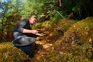 Karis Hodgson using peanuts and raisins to bait a live trap set for Pine martens (Martes martes) in coniferous woodland for a reintroduction project to Wales run by the Vincent Wildlife Trust, Scottis...  -  Nick Upton