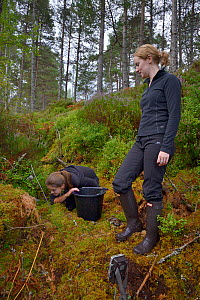 Lizzie Croose looks on as Karis Hodgson checks a live trap pre-baited for Pine martens (Martes martes) in coniferous woodland to check if any bait has been taken, during a reintroduction project to Wa... - Nick Upton