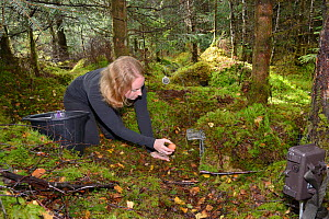 Lizzie Croose uses an egg to bait a live trap set for Pine martens (Martes martes) in mixed conifer and birch woodland, with a trailcam set in the foreground, during a reintroduction project to Wales...  -  Nick Upton