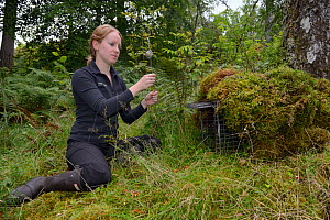 Lizzie Croose setting up a ^jiggler^ filled with peanut butter by a trap set for Pine martens (Martes martes), in the hope one will stand up to reveal the individual pattern on its chest in trailcam r... - Nick Upton