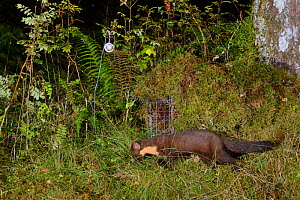 Pine marten (Martes martes) foraging near a live trap, pre-baited but not yet set in coniferous woodland, during a reintroduction project to Wales run by the Vincent Wildlife Trust, Scottish Highlands...  -  Nick Upton
