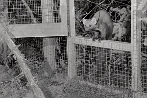 Radio-collared Male Pine marten (Martes martes) emerging from a temporary soft release cage after dark during a reintroduction project by the Vincent Wildlife Trust, Cambrian Mountains, Wales, UK, Sep...  -  Nick Upton