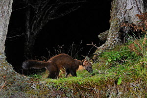 Pine marten (Martes martes) foraging at night in mixed coniferous and birch woodland in the area where live traps were set for a reintroduction project to Wales by the Vincent Wildlife Trust, Scottish... - Nick Upton