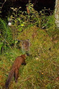 Pine marten (Martes martes) visiting a live trap, pre-baited but not yet set in coniferous woodland, during a reintroduction project to Wales run by the Vincent Wildlife Trust, Scottish Highlands, Sep... - Nick Upton