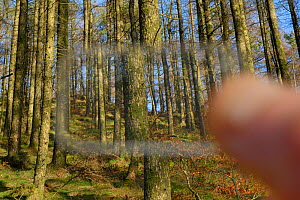 Wedge prism relascope used to record the tree density of coniferous plantation habitat where Pine martens (Martes martes) have been reintroduced by the Vincent Wildlife Trust, Cambrian Mountains, Wale... - Nick Upton