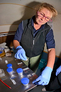 Veterinarian Alexandra Tomlinson prepares Pine marten (Martes martes) blood samples on microscope slides from animals trapped in Scottish woodland during a reintroduction project to Wales run by the V... - Nick Upton