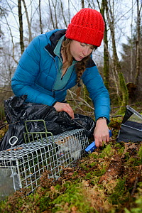 Catherine McNicol reading the PIT tag number of a Grey Squirrel (Sciurus carolinensis) she has re-trapped in a live capture trap while monitoring the squirrel population in the area where their predat...  -  Nick Upton