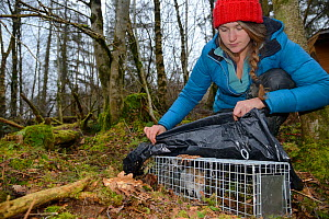 Catherine McNicol inspecting a Grey Squirrel (Sciurus carolinensis) she has caught in a live capture trap while monitoring the squirrel population in the area where their predators, Pine martens (Mart...  -  Nick Upton