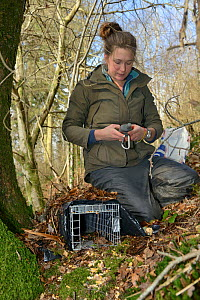 Catherine McNicol logging the GPS position of a live capture trap she has set for Grey Squirrels (Sciurus carolinensis) to monitor their population in the area where their predators, Pine martens (Mar...  -  Nick Upton