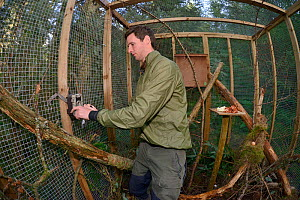 David Bavin positioning a trailcam to record the activity of a Pine marten (Martes martes) inside a soft release cage during a reintroduction project by the Vincent Wildlife Trust, Cambrian Mountains,...  -  Nick Upton