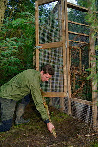David Bavin props open the door of a soft release cage to allow a Pine marten (Martes martes) to emerge when it is ready, during a reintroduction project by the Vincent Wildlife Trust, Cambrian Mounta...  -  Nick Upton