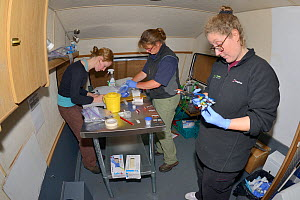 Dr. Jenny Macpherson prepares a radiocollar for a Pine marten (Martes martes) in a mobile vet clinic as veterinarian Alexandra Tomlinson packages up blood samples and Lizzie Croose records data, durin...  -  Nick Upton