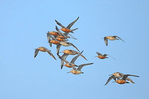 Bar-tailed Godwits (Limosa lapponica) during migration, Yalu Jiang, China. April.  -  Gerrit  Vyn
