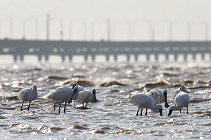 Black-faced Spoonbills (Platalea minor). Incheon, South Korea. October. Critically endangered. - Gerrit  Vyn