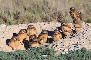 Burrowing Owl (Athene cunicularia) nestlings standing outside their nest burrow in sagebrush country. Idaho. July.  -  Gerrit  Vyn