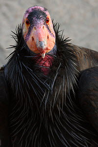 Mature male California Condor (Gymnogyps californianus) used for the captive breeding program to restore this critically endangered species. Idaho. February.  -  Gerrit  Vyn