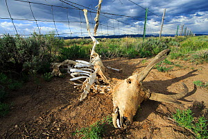 Pronghorn (Antilocapra americana) skeleton caught in a sheep fence. Both antelope, which jump poorly, and deer commonly get their legs caught in livestock fences leading to a slow suffering death. Obs... - Gerrit  Vyn