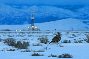 Greater sage-grouse  (Centrocercus urophasianus) and fracking rig. Pinedale Mesa. Sublette County, Wyoming. March.  -  Gerrit  Vyn