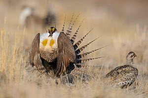 Gunnison sage-grouse (Centrocercus minimus) male displaying to a female at lek. Gunnison County, Colorado. April.  -  Gerrit  Vyn